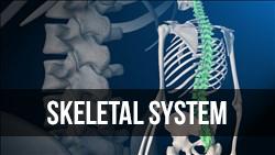 <b>Skeletal </b> System