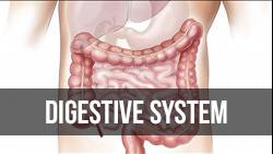<b>Digestive</b> System